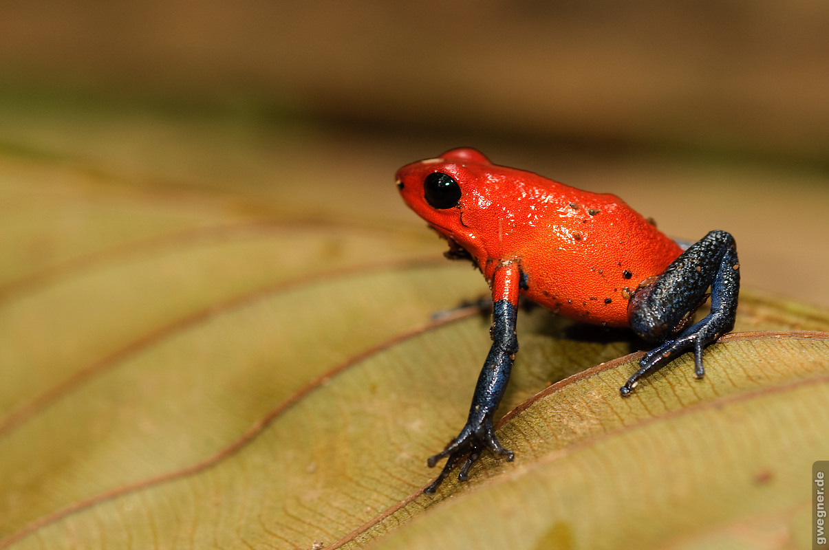 costa rica red frog gwegner